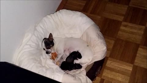 cute little chihuahua family after birth