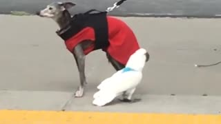 Parrot Finds Canine Companion For Walking On A Leash