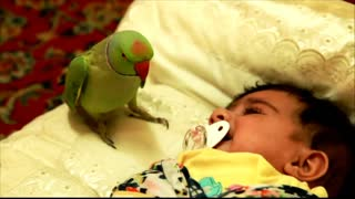 Ringneck parrot talking with criying baby
