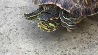 Funny Man Help A Turtle Moving Faster Forward