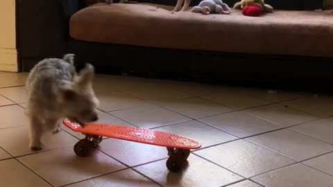 Dog super protective of his toy skateboard
