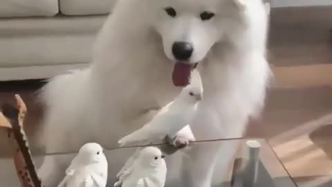 train your nany husky dog to play with birds