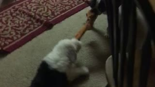 Puppy gets dragged across the floor playing  - Video