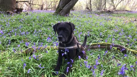 Hank in the bluebells 2019