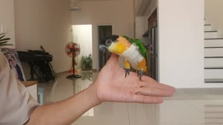 Parrot Turns Fingers into Playground