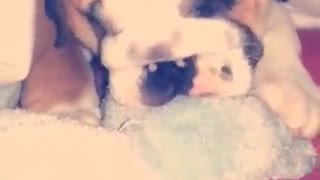 English Bulldog Puppy -missing his mummy - Video