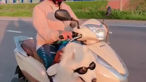 Samoyed rides on scooter through streets of Vietnam