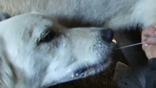 Guard dog prefers her milk straight from the source - Video