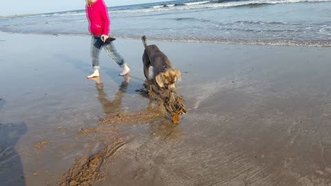 Giant dog fearfully skeptical of seaweed