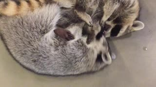 Raccoon siblings engage in incredibly adorable wrestling match - Video