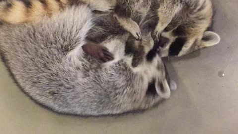 Raccoon siblings engage in incredibly adorable wrestling match