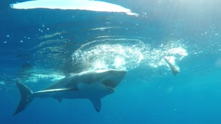 Great White Shark tries to break into diver's cage