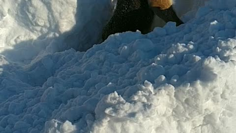 Chiborek searches for buried Treasure in the Snow