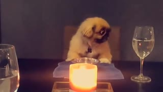 Pampered pup enjoys nice candlelight dinner
