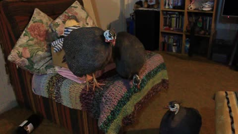 Happy Guinea Fowl on a Chair