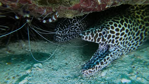 Pair of Moray Eels Smile Under the Sea