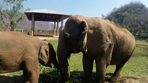 Elephant mother and baby squabble over food