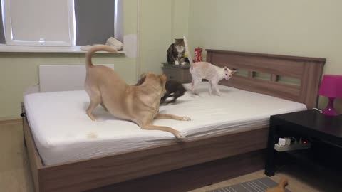 Dogs have epic battle for bed dominance while cats watch