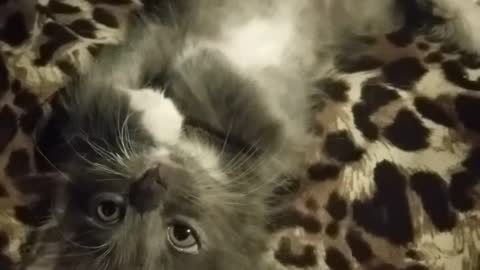 Tiny kitten adorably cleans herself while laying on her back
