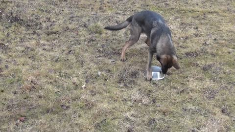 German shepherd is playing with the water bowl
