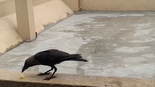 Feeding a Friendly Crow