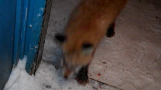 Wounded Fox - Video