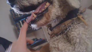 White dog does not like finger in mouth - Video