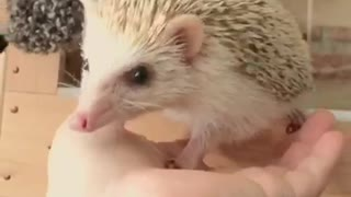 Hedgehog Lala who wants to play outside the cage  - Video