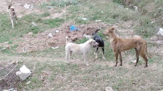 Suddenly all dogs watch some thing in bushes and start attack on it  - Video