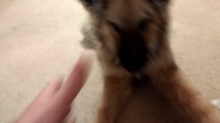 Adorable Delta plus Two GSDs  - Video