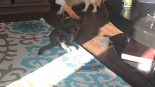 Resilient Cat vs Dog in a game of Tug of War - Video