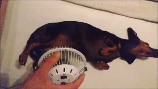 Dachshund gets cooled down with mini-fan