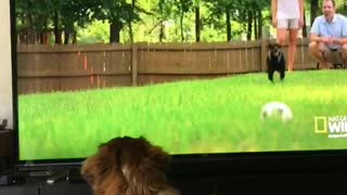 Blonde dog jumps at dog on tv set - Video