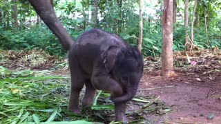 Cute Baby Elephant Playing With Trunk