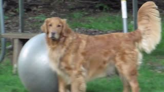Golden Retriever goes crazy for yoga ball! - Video