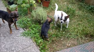 some weeks old chihiuahua puppie catching with the family  - Video