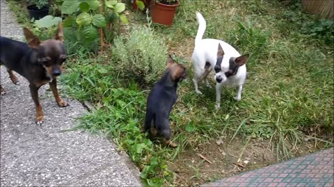 some weeks old chihiuahua puppie catching with the family