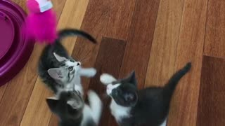 Kittens come running  - Video