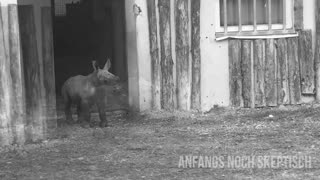 Ananova - Moment Cute Baby Rhino Takes First Steps Outside