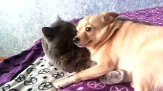 The cat likes to lick dog that loves it  - Video