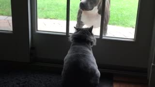 Cat scratches at glass door at pitbull - Video