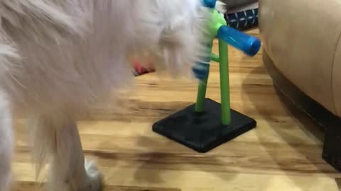 Golden Retriever spins her toy to get a treat to drop out