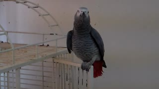 Singing Parrot Whistles 'Jingle Bells' Tune - Video