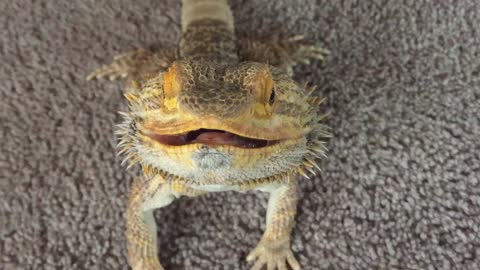 Bearded Dragon tries to wave to the camera