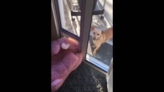Little Dog Struggles To Drag Her Bed Outside - Video