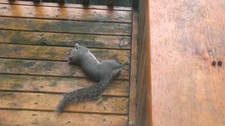 Drunk Squirrel trying to eat nuts - Video
