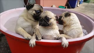 Bath Time for Pugs - Video