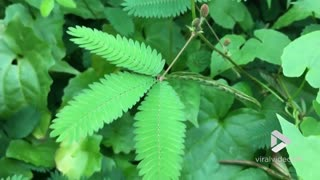 Moving Plant Mimosa Pudica Responds To Touch Stimuli - Video