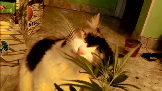 Cannabis Cat - Video