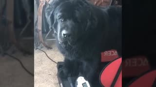 adorable giant dog loves his treadmill